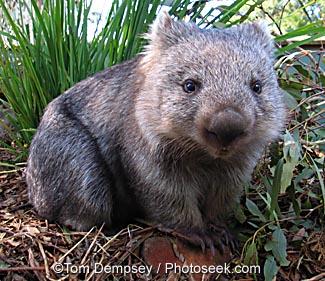 04aus-30201-wombat.jpg